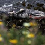 Dozens Of Starved Gray Whales Are Washing Up All Along The West Coast
