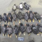 The Climate Crisis Likely Caused Mass Die-Off of Puffins