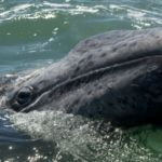 Dozens of gray whales are dying on the West Coast as they make their epic Alaskan migration