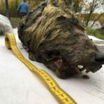 Head of 32,000-year-old wolf found in Russian Arctic