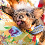 World's Ugliest Dog 2019 Revealed: See Photo Of Scamp The Tramp